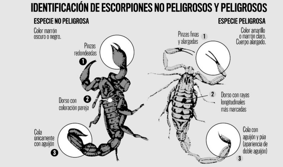 Peligro Cómo Identificar A Los Escorpiones Venenosos Y Prevenir
