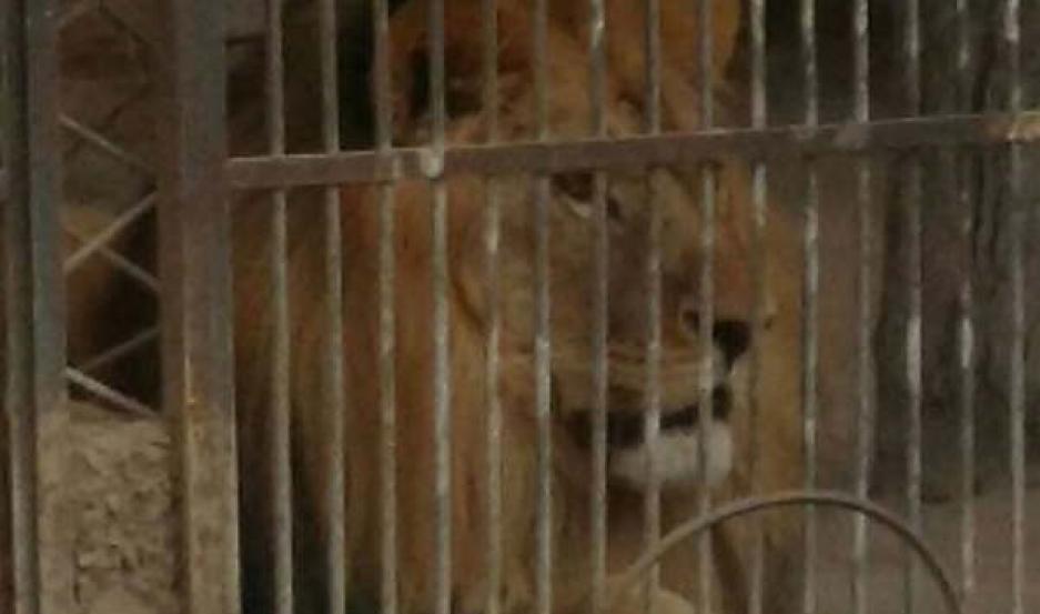 PRESENTE. Preocupa a los amparistas el estado de salud de tres leones y un tigre, aún alojados en el ex zoológico.