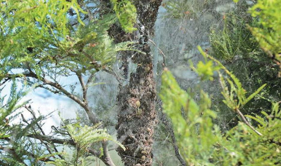 Sorpresa y estupor por la proliferación de arañas carnívoras en el interior santiagueño