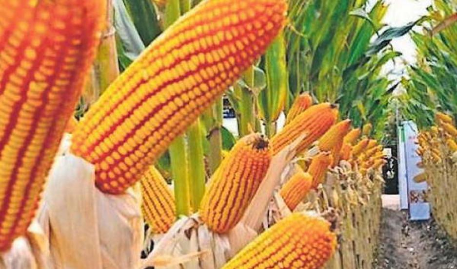 Comercializarán semilla de maíz con genes modificados