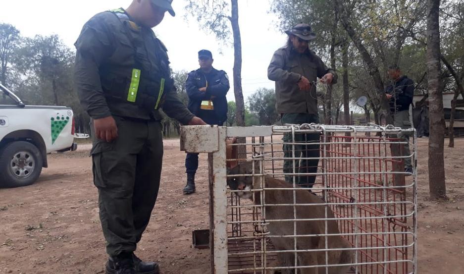Rescatan a un puma que estaba atado con cadenas a un árbol