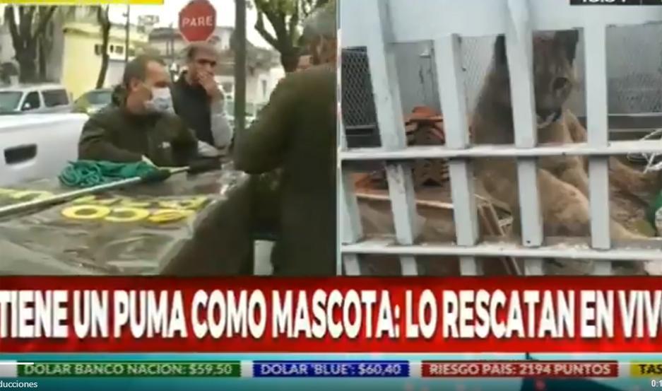 El puma fue descubierto a raíz de una denuncia anónima.