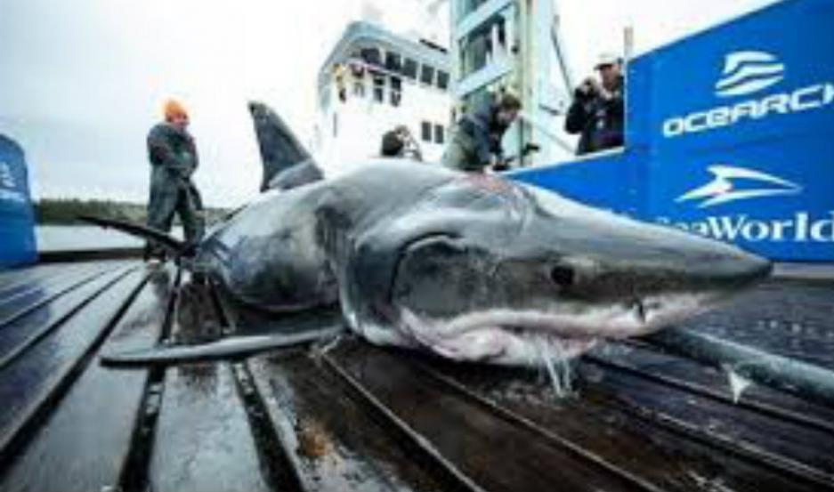 El tiburón hallado por la organización