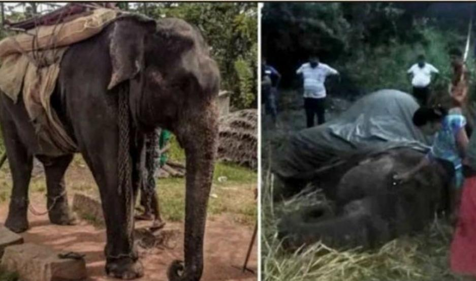 Kanakota, el elefante que murió por agotamiento.