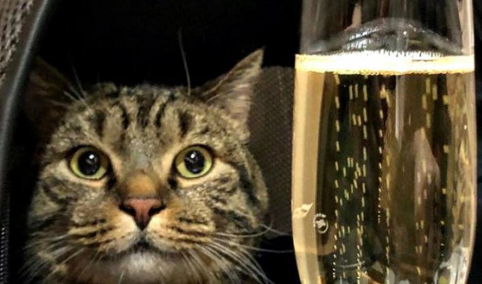 La foto que compartió Mikhail Galine. El gato Víctor mirando una copa de Champagne.