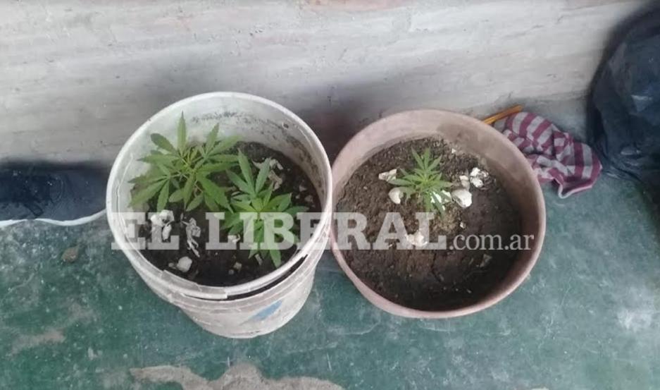 Las plantas de marihuana se hallaban en los fondos de la casa de uno de los sospechosos.