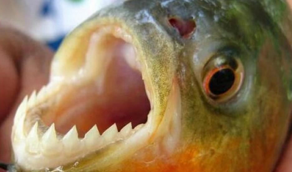 Las palometas son animales de comportamiento agresivo, carnívoros y con grandes dientes.
