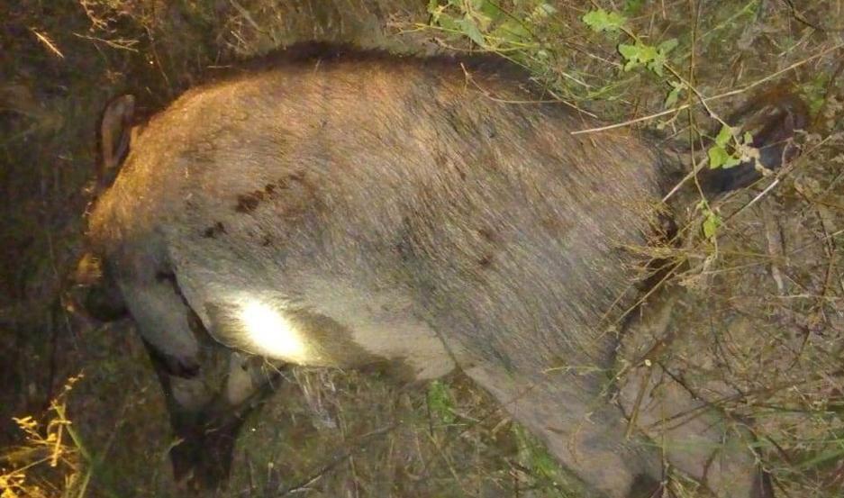 Un jabalí fue cazado en forma ilegal. Buscan terminar con este tipo de actividades.