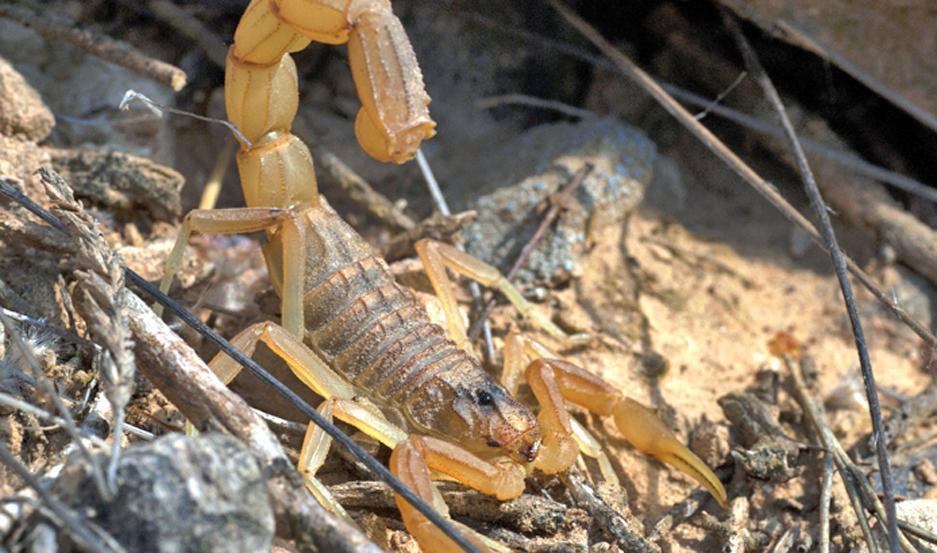 PREVENCIÓN. El calor y la humedad son ideales para la proliferación de escorpiones, por lo que se recomiendan extremar las medidas preventivas.