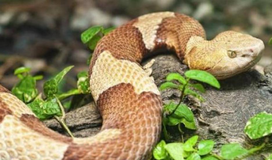 La serpiente cabeza de cobre, una de las mas venenosas.