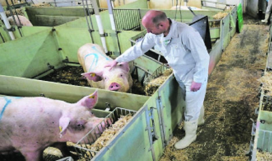 CASO. En 2019 China tuvo que sacrificar el 40% de sus porcinos por la peste africana. Ahora busca dónde producir.