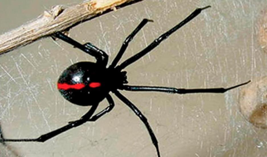 Advierten La Presencia De Arañas Venenosas Igual De Peligrosas Que